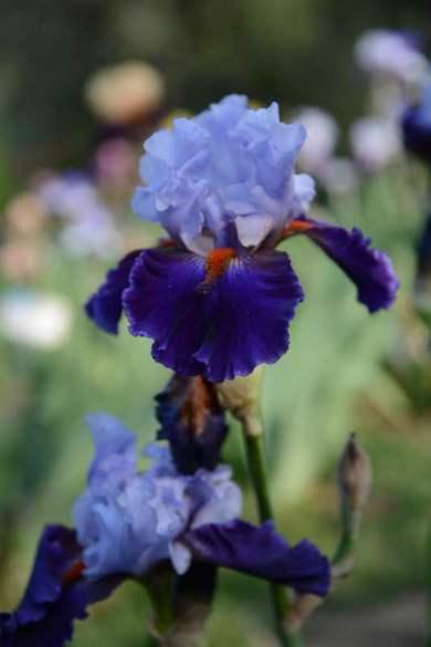 Florence Iris Garden_289